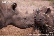 Young-eastern-black-rhinoceros