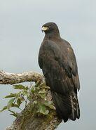 Black eagle (Ictinaetus malaiensis)