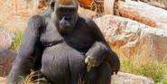 Cheyenne Mountain Zoo Gorilla