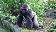 DAK Gorilla