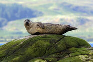 Harbor Seal on Rock