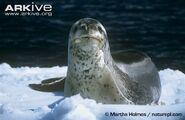 Leopard-seal-on-an-ice-floe