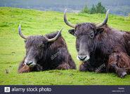Male and Female Domestic Yaks