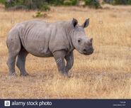 Northern white rhinoceros calf