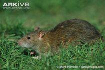 Rat, brown.jpg