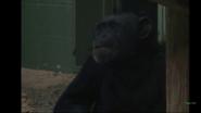 Rolling Hills Zoo Chimpanzee