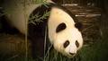 SDZ TV Series Panda