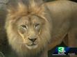 Sacramento Zoo Lion