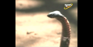 Scout's Safari Cobra