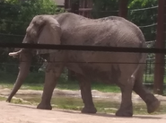Toledo Zoo Elephants