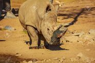 97781093-white-rhino-with-mud-on-horn-after-drinking-in-the-river