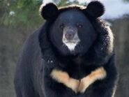 Black Bear, Asiatic