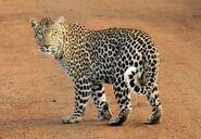 Leopard, African (V2)