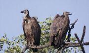 Noah's Ark Vultures Ducks WoodpeckersTeals Hawks Gulls Jays Titmouses Owls Robins Herons Grebes Hummingbirds Terns Warblers Grosbeaks Gooses Eagles Bullfinchs.jpg