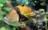 Reef triggerfish (Rhinecanthus rectangulus)