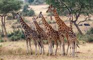 Rothschild-giraffe-photos-850x550