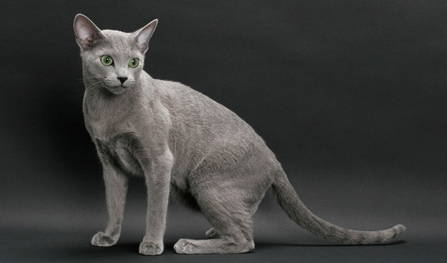 Russian Blue (cat breed)