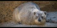 San Diego Zoo Hyrax