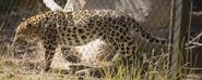 San Diego Zoo Leopard