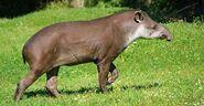 Tapir, Brazilian (V2)