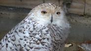 Utica Zoo Snowy Owl