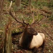 1024px-Roosevelt Elk at Northwest Trek