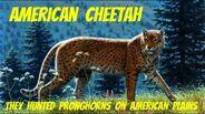 American Cheetah