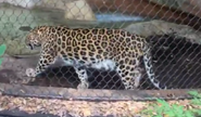 Audobon Zoo Leopard
