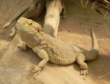 Bearded dragon4.jpg