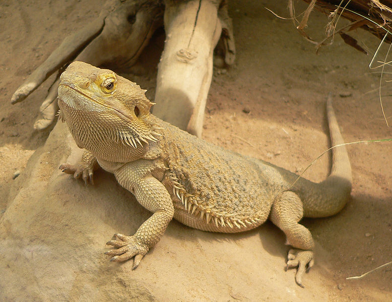 Central Bearded Dragon