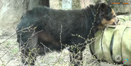 Buffalo Zoo Andean Bear