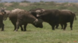 Buffaloes, Rhinoceroses, and Zebras