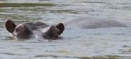CITIRWN Hippo