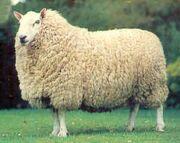 Cheviot Sheep.jpg