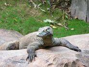 Female Komodo
