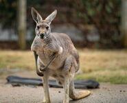 Female Red Kangaroo