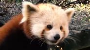 Greenville Zoo Red Panda