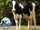 Holstein Friesian Cattle