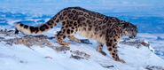Img-banner-snow-leopard-in-snow-1400x600
