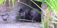 Jacksonville Zoo Pigs