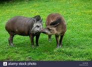 Male and Female Brazilian Tapirs
