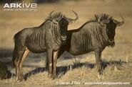 Male and Female Wildebeest