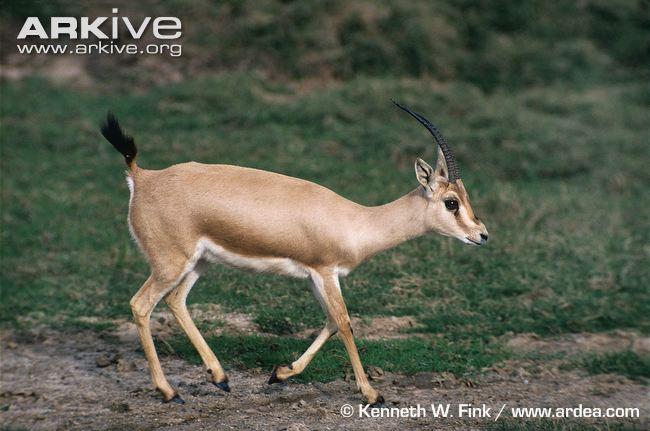 Slender-Horned Gazelle