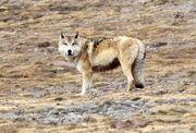 Tibetanwolf640.jpg