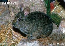 Volcano-rabbit.jpg