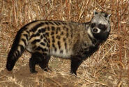 African Civet IMG 6918