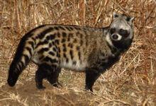African Civet IMG 6918.jpg