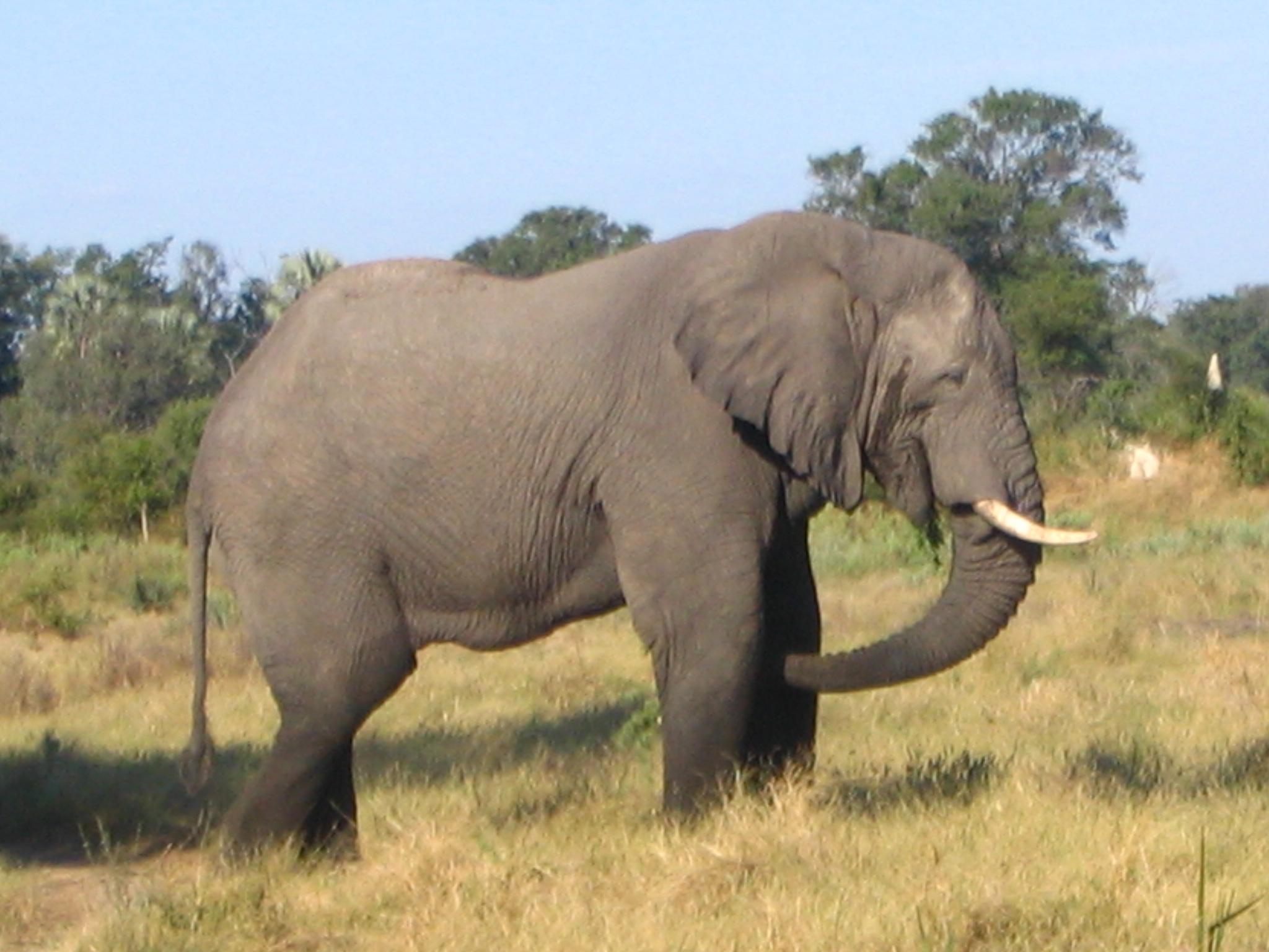 African Bush Elephantz
