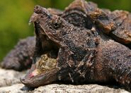 Alligator-snapping-turtle-jaws-820x587