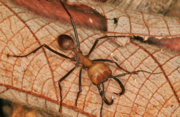Ant, Army.png